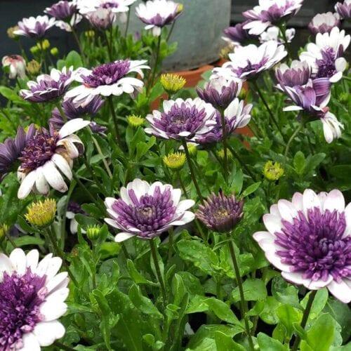 Purple bedding flowers