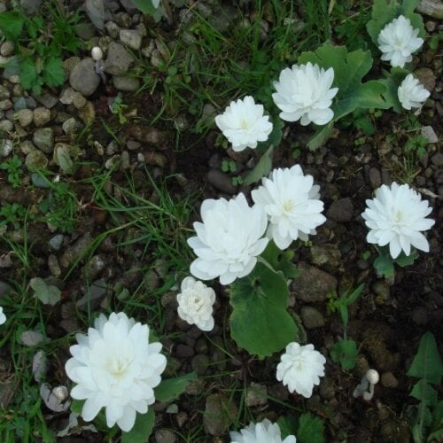 White roses in the ground